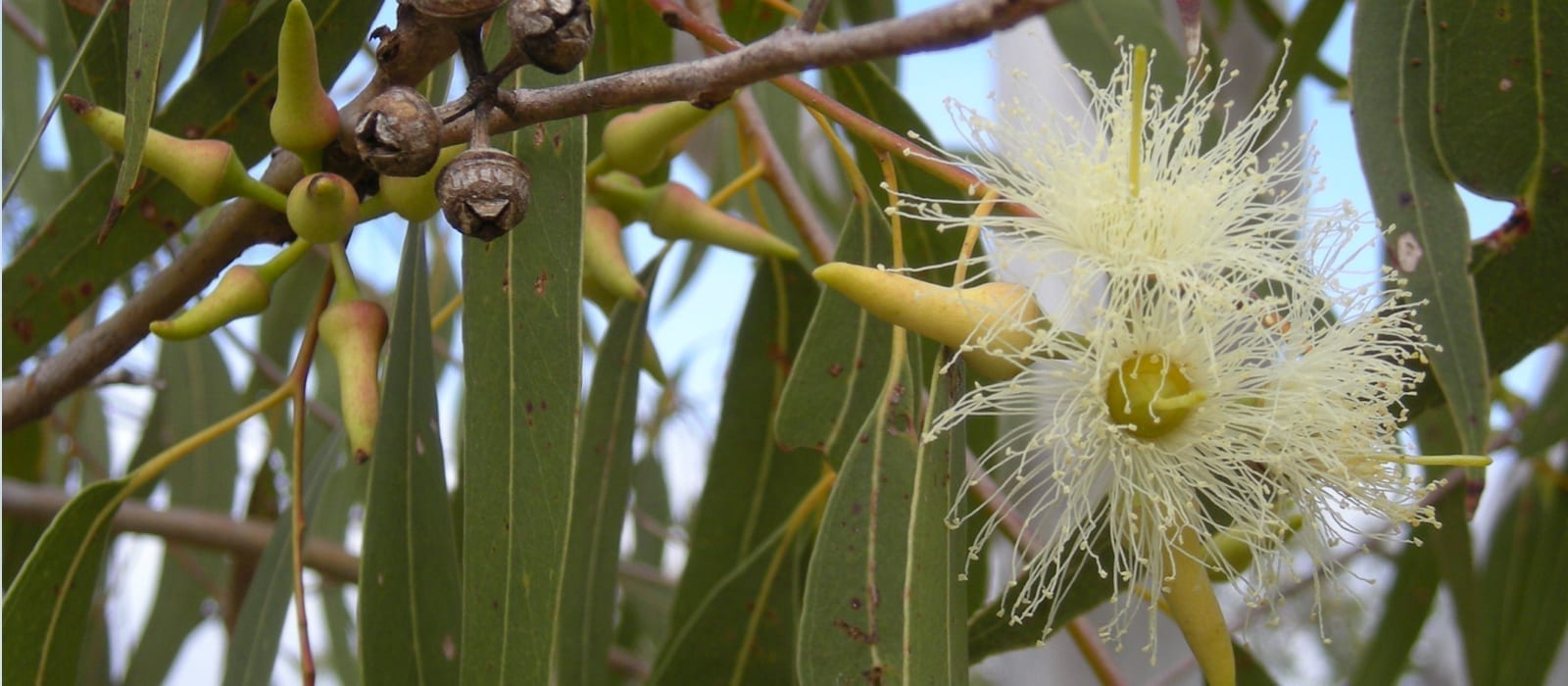 Eucalyptus Essential Oils for Headaches