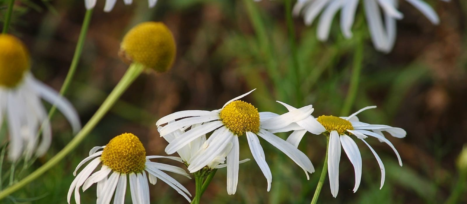 Chamomile Essential Oils for Headaches